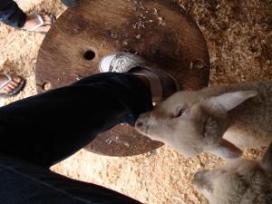 Las ovejitas de la granja queriendo comerse mi pantalón.